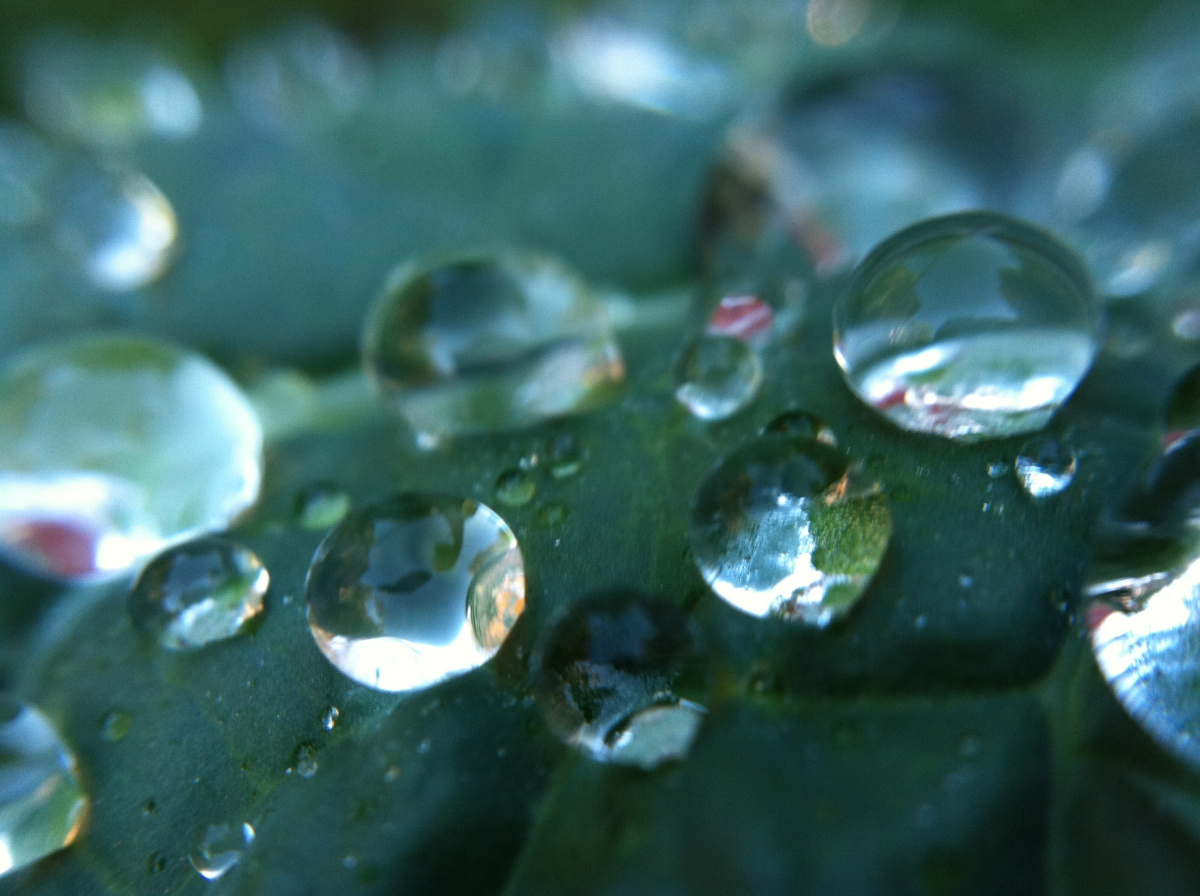 rain droplets on lacinato kale