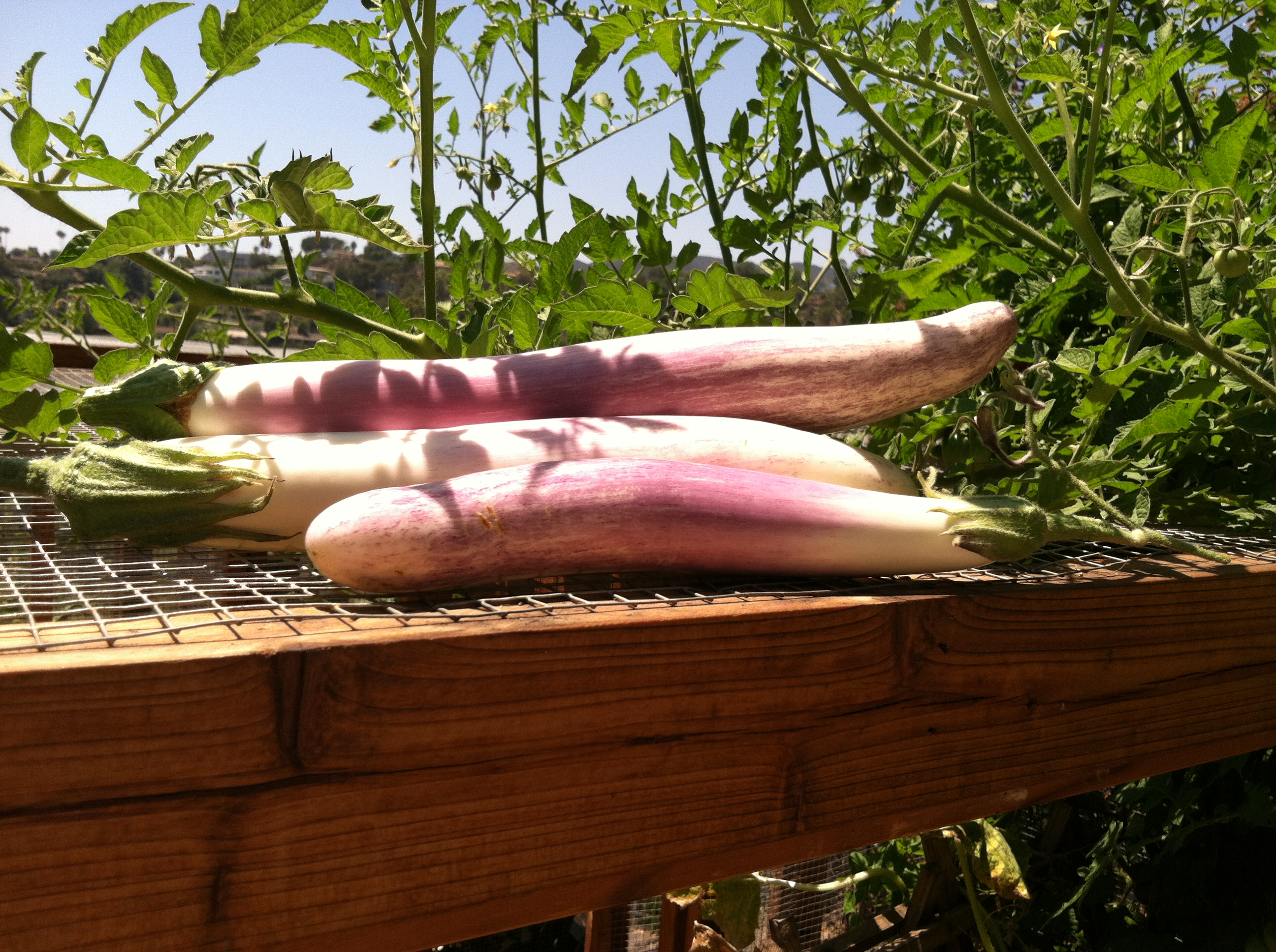 Beautiful Lavender Eggplants