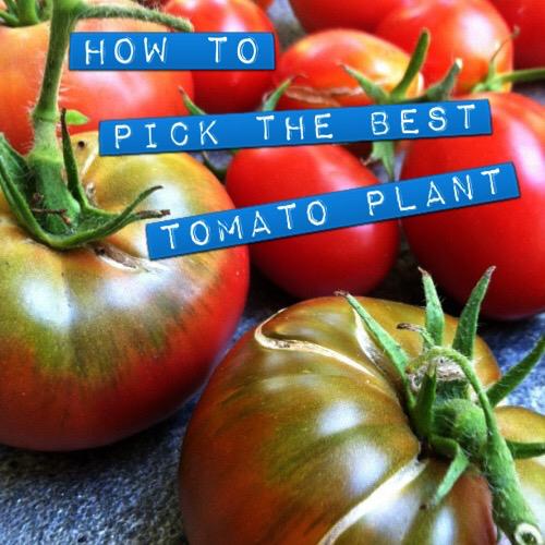 TOMATO BEST PLANT